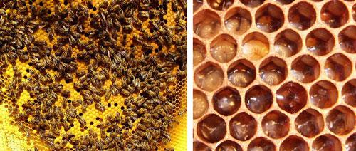 Bee Brood  &  Uncapped Brood