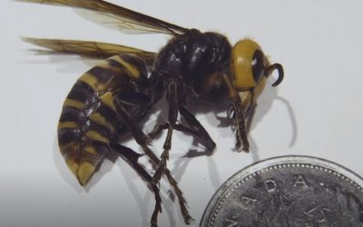 Asian Giant Hornet – Monitoring on the Central Island 2021